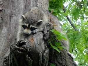 Mama Raccoon taking a break from her six kits sleeping inside the tree.