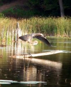 head under open wing