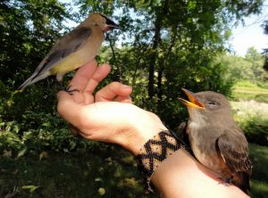 cedar waxwing and olive-sided flycatcher