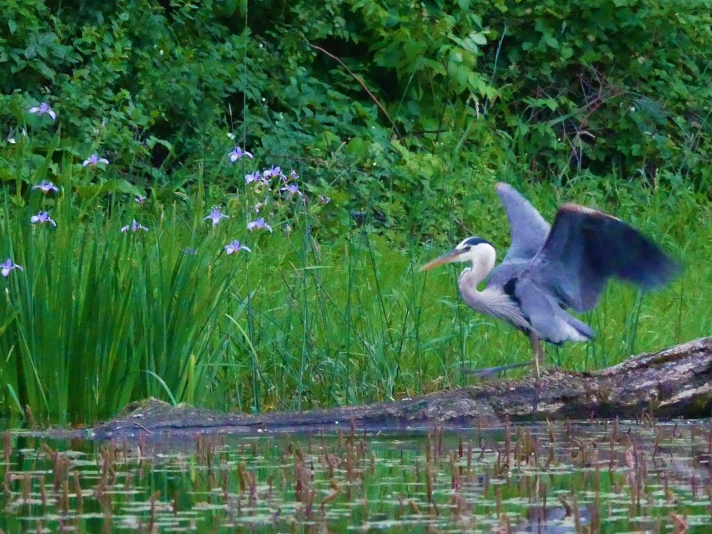 A great blue heron dances to the wild blue flag iris