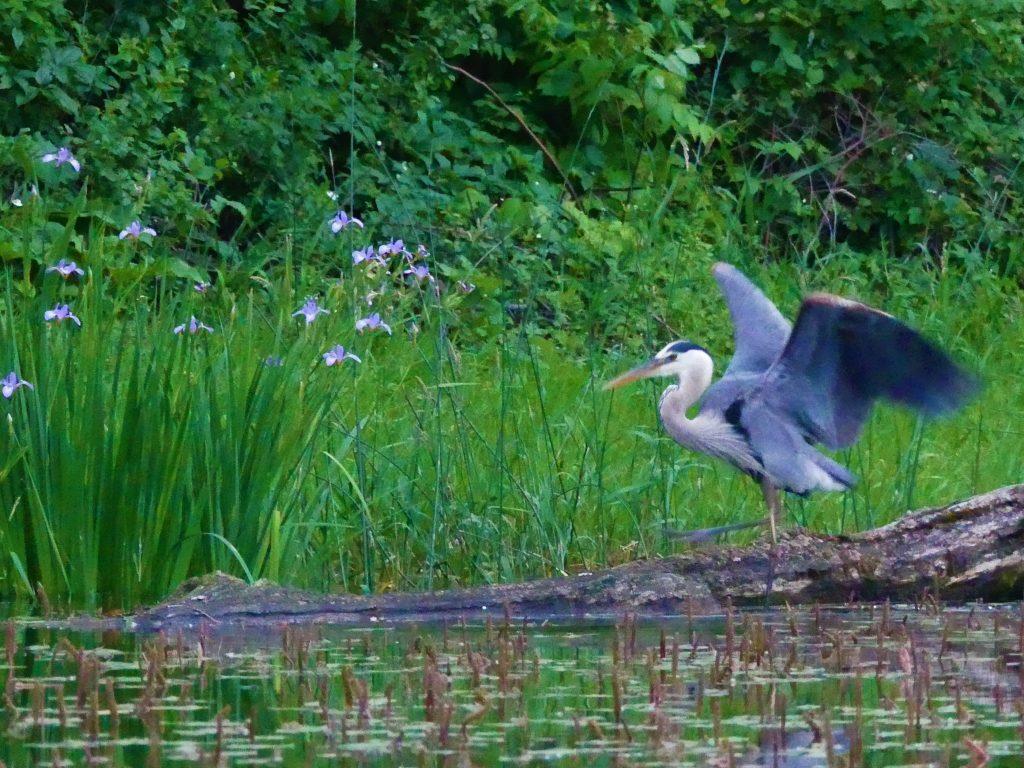 A great blue heron dances to the wild blue flag iris