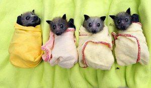 baby bats in blankets