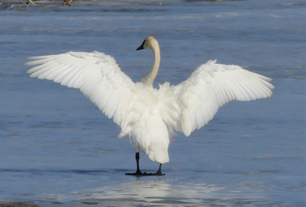 swan spreads wings