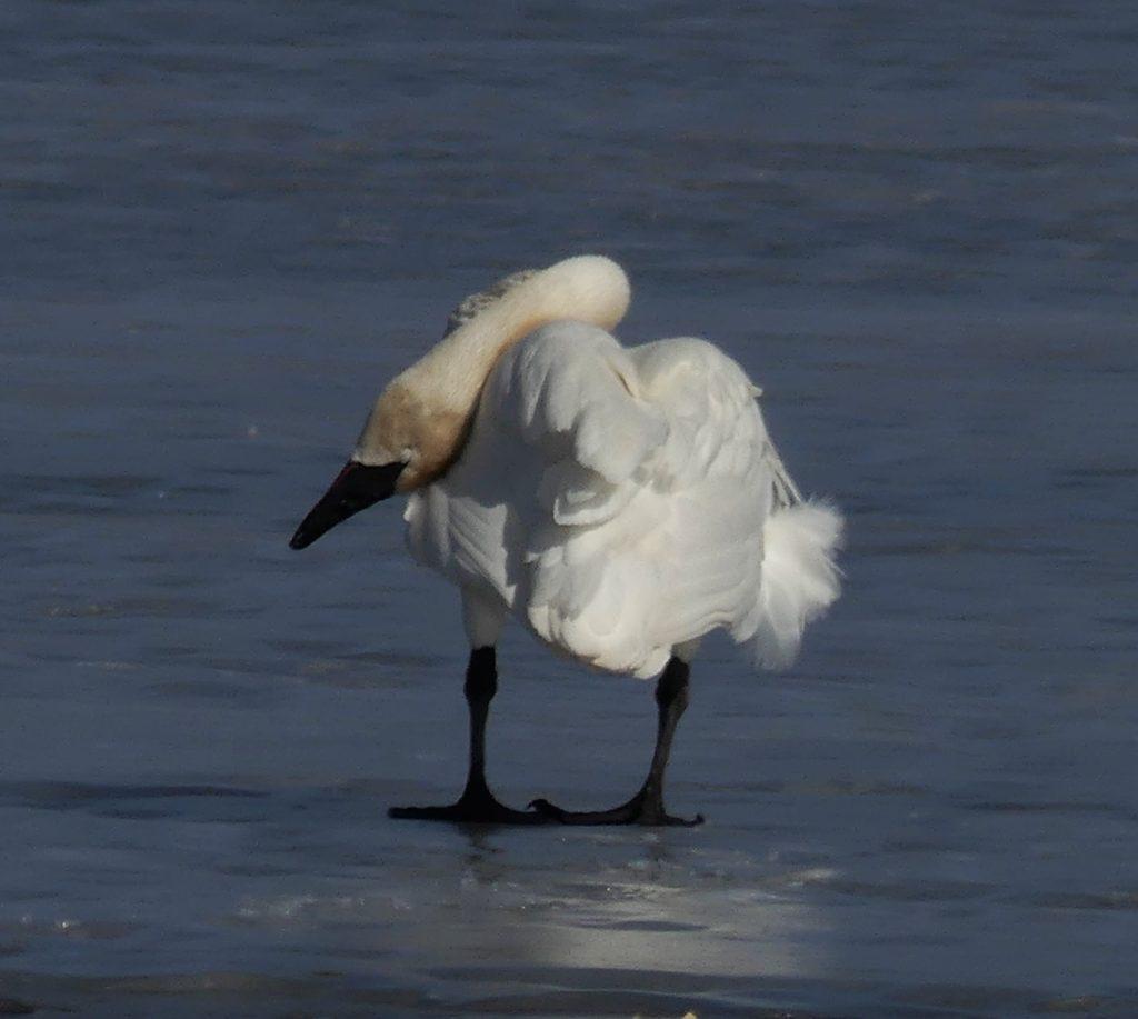 swan hanging head