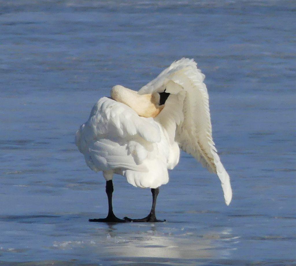 swan preens
