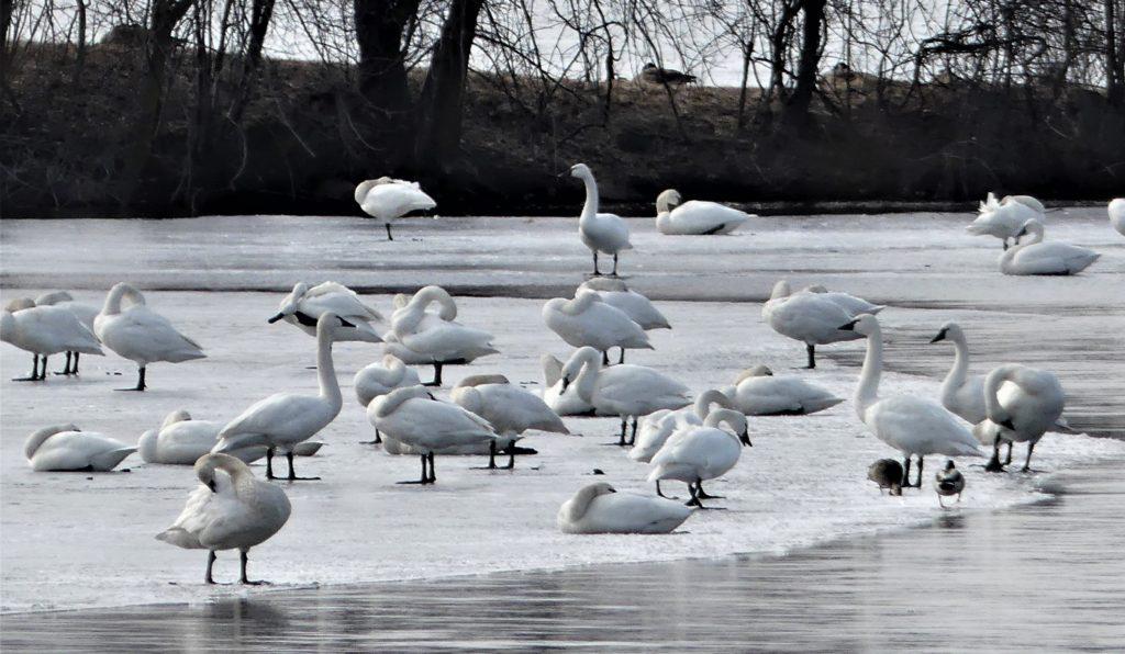 swans resting