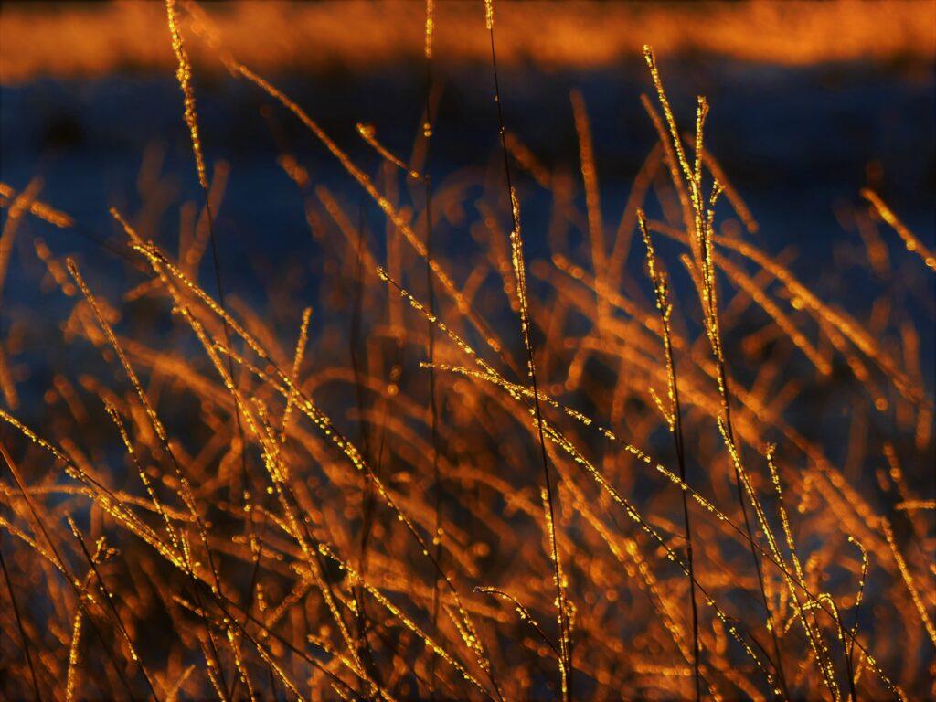 golden frosty grasses